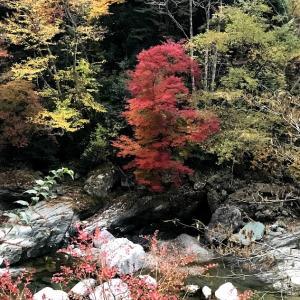 めっきり秋になってきましたね♪四万十源流付近色ついていてきました