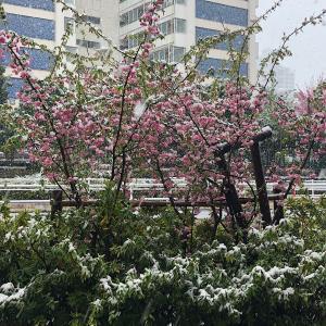 waltzな桜と雪のコラボレーション