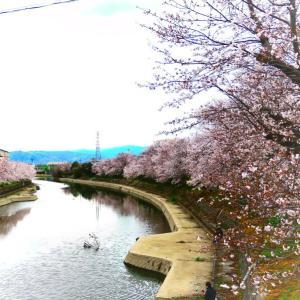 桜全線 京都3