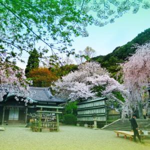桜全線 京都4