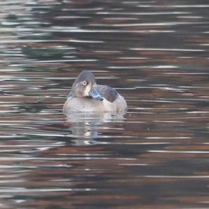 珍鳥クビワキンクロ…