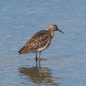 南港野鳥園へ… エリマキシギ、オオソリハシシギなど
