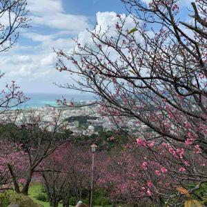 沖縄ひとり旅③ ~名護城公園の寒緋桜と絶景カフェ~