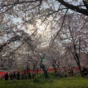 サクラ!サクラ!サクラ!京都・奈良ひとり旅③ ~桜を求めて京都をサイクリング~