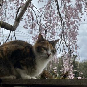 県道3号線沿い額西のしだれ桜