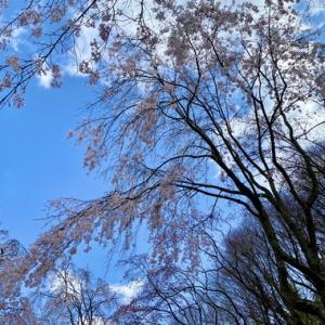 八十八庵のしだれ桜