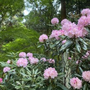 大窪寺門前『八十八庵』の石楠花(シャクナゲ)