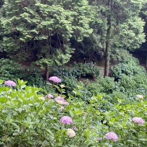 八十ハ庵の紫陽花が満開です