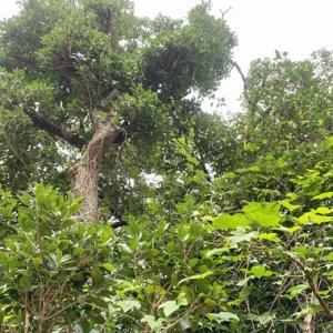 老木の柊木(ヒイラギ)