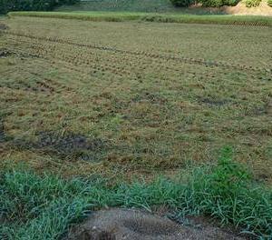 稲刈りをしました。