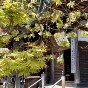 大窪寺の御衣黄(ギョイコウ)が満開を迎えていました