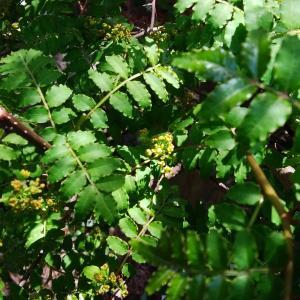 山椒の雄花