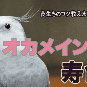 オカメインコの寿命について【ギネス記録は? / 長生きのコツ】