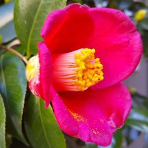 茶人たちに愛された花・我が家に咲く