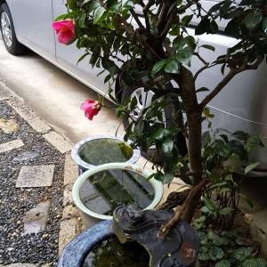 雨でも桜・元気に開花