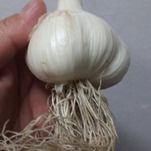 【率先炊飯】いまの季節だけ!超限定「生ニンニク」を喰らう……の巻