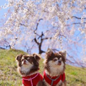 桜(๑>◡<๑)
