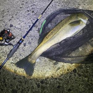 「能登シーバスと黒鯛」シナリオ通りの釣り