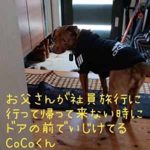 CoCoくん U^ェ^U