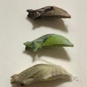 アゲハ飼育日誌1944 アオスジ飼育再開 蛹3色 蛹から寄生虫