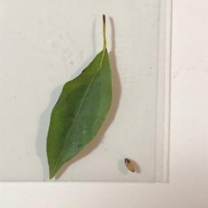 アゲハ飼育日誌1947 第3の寄生虫 蛹にも顔 謎の突然死