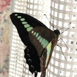 アゲハ飼育日誌1951 飛べない蝶が生み出す幸せな空間