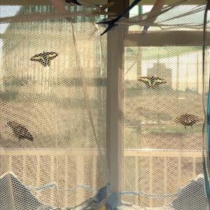 アゲハ飼育日誌1958 季節外れの羽化続く 落ち着かない吸蜜