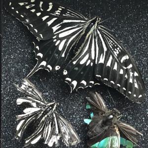 アゲハ飼育日誌2002 小型蝶没 ヤサイゾウムシ とまれない