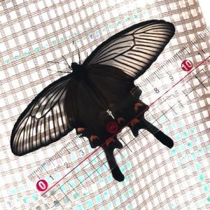 アゲハ飼育日誌2009 越冬さなぎ羽化続く ジャコウ初の雌