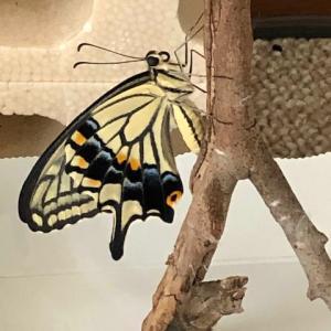 アゲハ飼育日誌1906 巨大青虫消失の寂寥 ナミアゲハ羽化