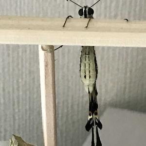 アゲハチョウ育て方【成虫の餌やり】少々手間がかかります