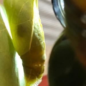 アゲハチョウの蛹から寄生虫ヤドリバエが出てきた!【閲覧注意】