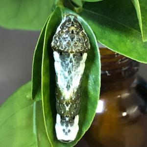 アゲハ飼育日誌1930 幼虫変死 ウイルス性の病気か