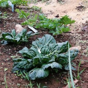 他の野菜その後