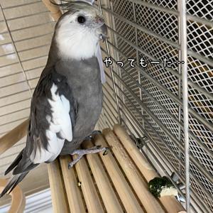 *1505 自由鳥