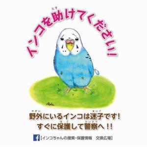 【迷子情報】オカメインコ・ルチノー<愛知県 あま市>(9月24日)