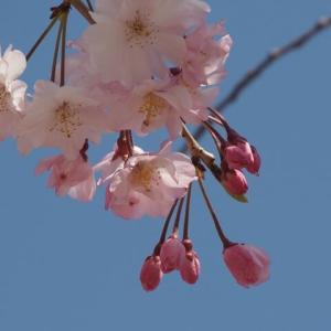 花のある風景@2021/03/27 。。。