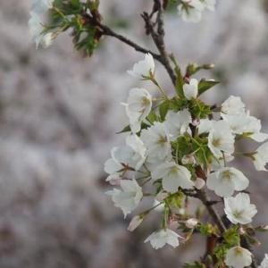 花と飛行機のある風景@2021/04/03 。。。