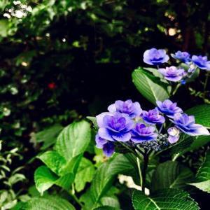 紫陽花を壊した夜。