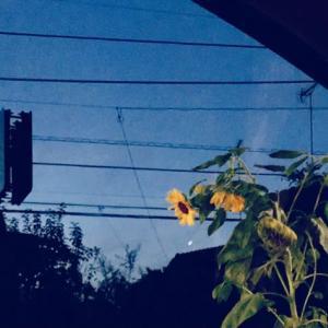 今夜、向日葵を見ました。