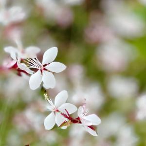 白蝶草*ちいさなお花が咲く場所で。