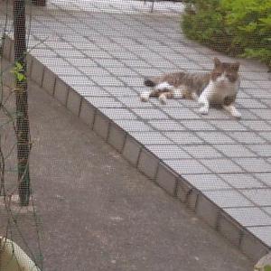 ほぼ飼い猫状態のボボちゃん