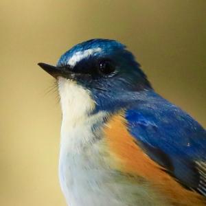 瑠璃色の小鳥