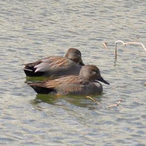 燻銀の水鳥