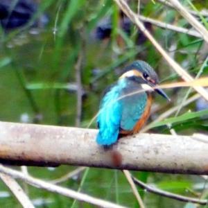 川蝉+蓮の池