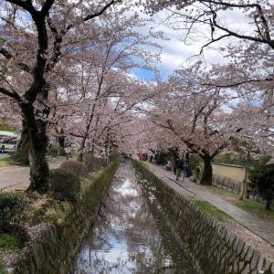 哲学の道 喫茶ポモ 幻のアップルティーとうちの家内が作ったケーキは最強の組合せ(*^^*) 桜の季節は地上の楽園