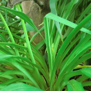 ユウスゲと藪間草の花茎の違い