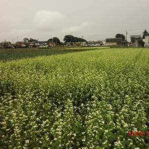 休耕田の蕎麦開花