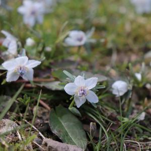 野に咲く小さな星。節分草 spring ephemeral