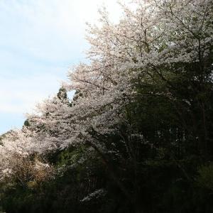 桜。花を愛するひと